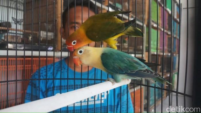 Harga Love Bird Anjlok Peternak Kecil Terpaksa Gulung Tikar