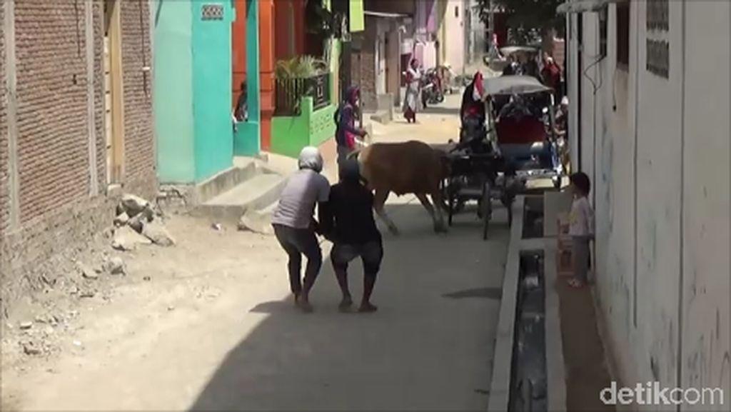 Sapi Kurban di Polewali Mandar Ngamuk, 2 Motor Rusak