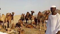 Melihat Unta Arab di Hudaibiyyah