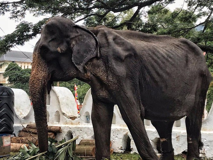 Gajah bernama Tikiri berusia 70 tahun ini sangat kurus dan rapuh. Foto: Dok. Metro/Lek Chailert