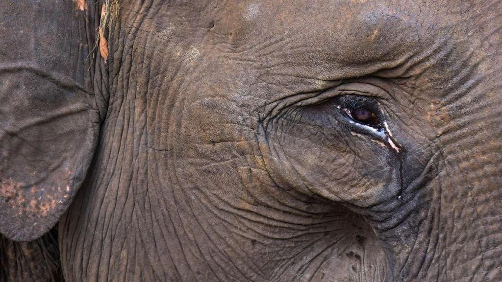 Bikin Miris! Gajah Sumatera Ini Menangis Karena Kehilangan Habitat