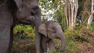 Menggemaskan! Anak Gajah Jalan Maju Mundur Cantik