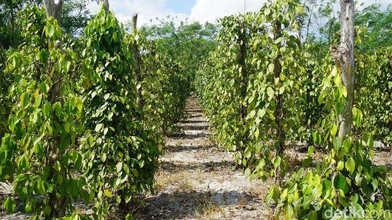 Tanaman lada umumnya banyak ditemukan di Belitung setelah sawit, salah satunya di Desa Kacang Butor (Shinta Angriyana/detikcom)