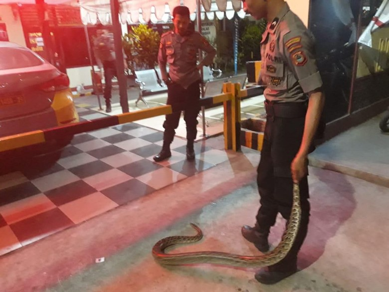 Ular Piton 3 Meter Bikin Geger Warga, Polisi Kembar Turun Tangan