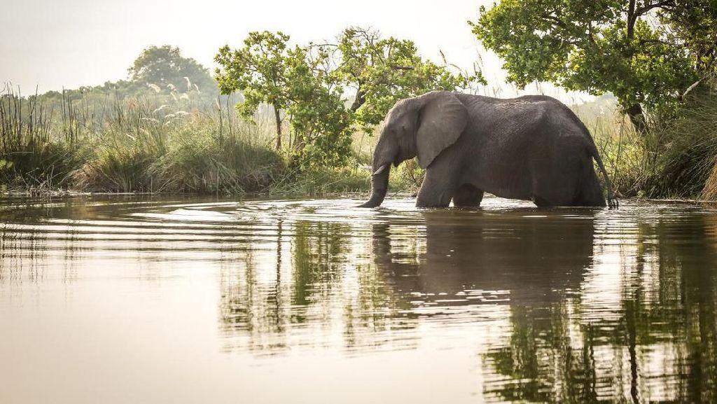Viral Video Dramatis: Penyelamatan Gajah Terjebak di Kanal