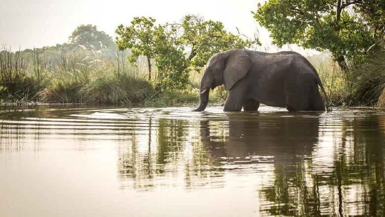 Foto: Ilustrasi gajah (iStock)