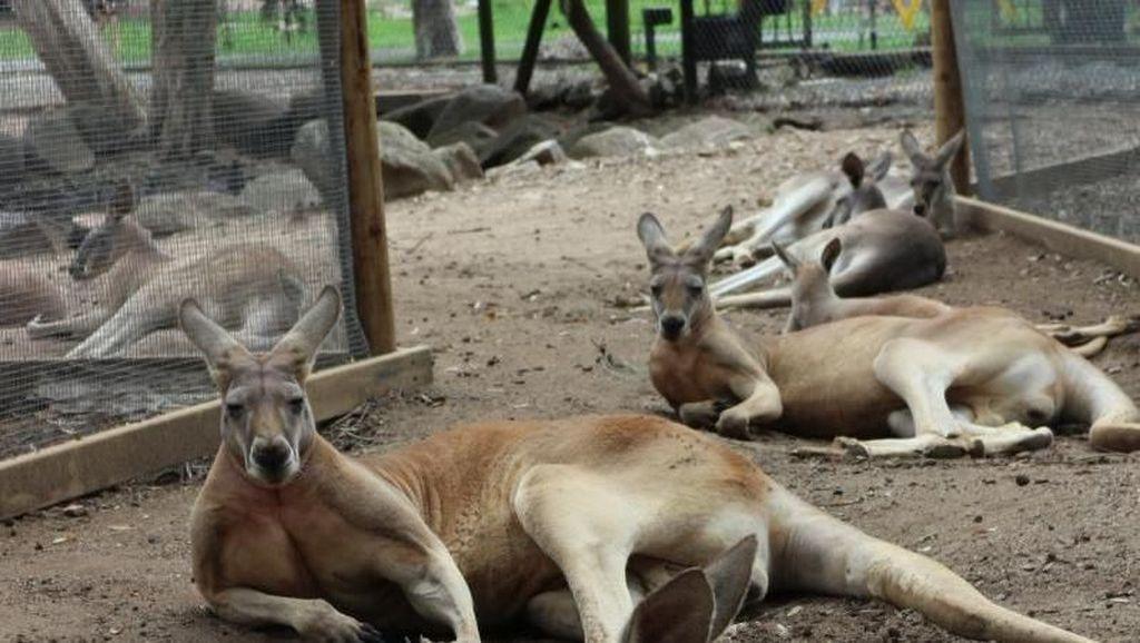 Selfie Bareng Kanguru di Currumbin Wildlife Sanctuary