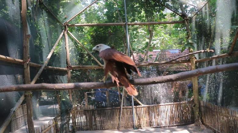 Bagus & Bagas, 2 Elang Bondol Itu Kini Terbang Bebas di Pulau Kotok