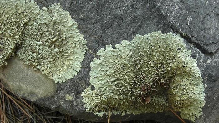 Lumut Xanthoparmelia bisa tumbuh di batu. (Foto: Jason Hollinger/Wikimedia Commons)