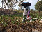 Tanaman Cabai Banyak yang Layu, Petani Lamongan Mulai Cemas