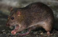 Tikus Jadi Camilan Sekaligus Bekal Makanan Murah di Kamboja