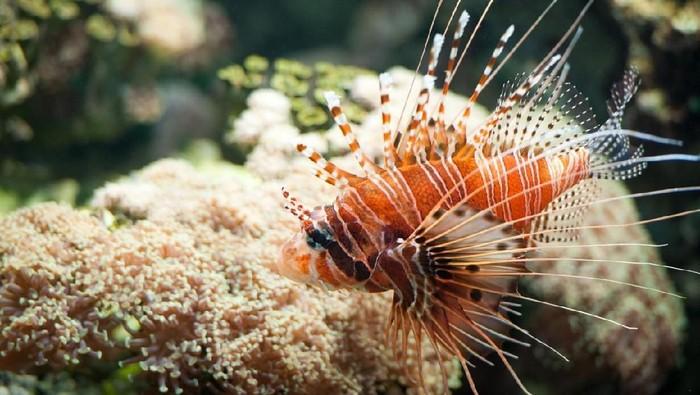 Racun dari duri lionfish digunakan untuk obat kanker yang dikembangkan mahasiswa UI. Foto: iStock