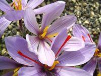 Tren kekinian minum saffron untuk gaya hidup sehat