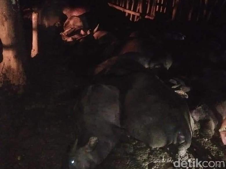 Pengembala Bersama 21 Kerbau Mati Tersambar Petir di Tapteng