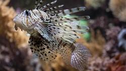 3 Mahasiswa UI Kembangkan Obat Kanker Serviks dari Racun Duri Lionfish