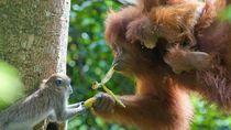 Ada Orangutan Makan Plastik, Kebun Binatang Malaysia Diprotes