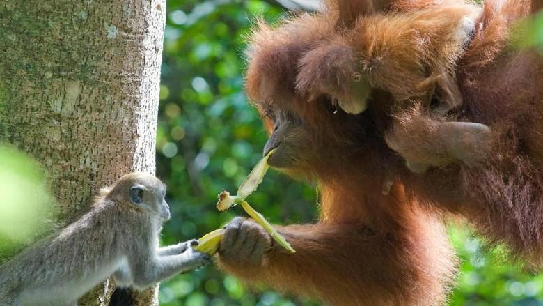 Ilustrasi orangutan (Suzi Eszterhas/WWF)