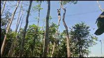 PLN Pangkas Puluhan Pohon di Bawah SUTET Cilawu Tasikmalaya
