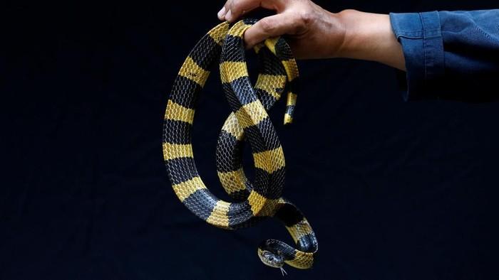 Jangan anggap remeh gigitan ular berbisa. (Foto ilustrasi: Soe Zeya Tun/Reuters)