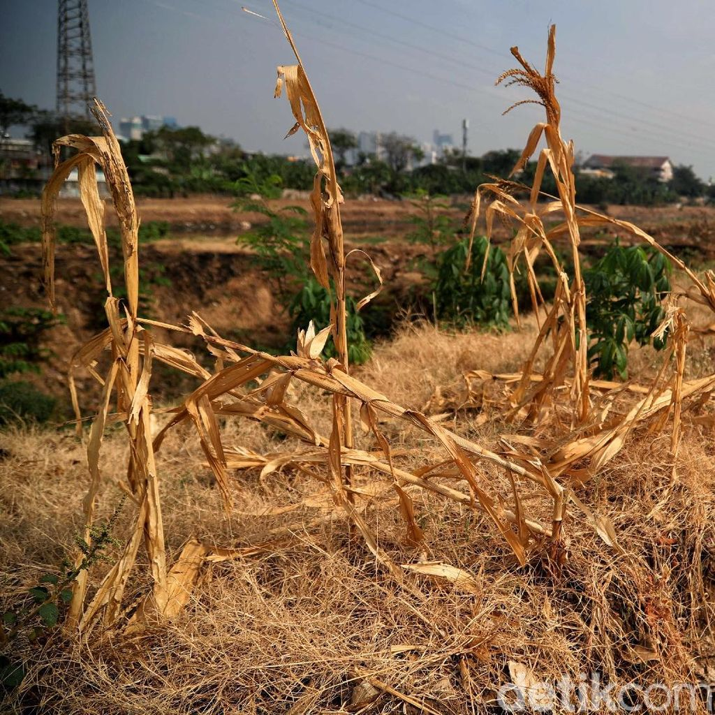 Lahan Pertanian di BKB Jakarta Dilanda Kekeringan