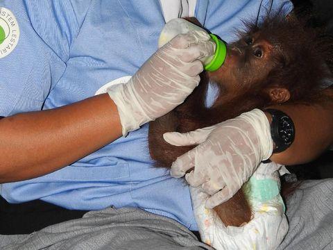 Bayi orang utan betina itu diberi nama Indie.