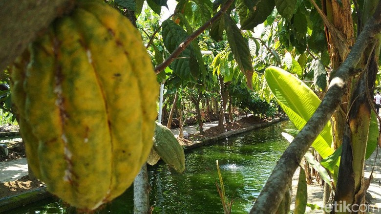 Mengintip Tumpangsari Kakao dan Kolam Ikan Nila di Kampung Cokelat Blitar