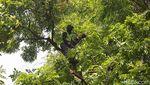 Antisipasi Tumbang, Batang Pohon Rindang Dipangkas