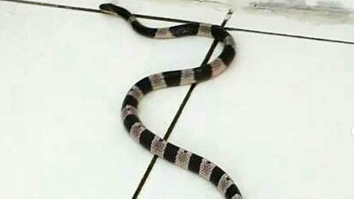 Ular weling (bungarus candidus) adalah jenis ular berbisa dari suku elapidae yang menyebar di Asia Tenggara hingga ke Jawa dan Bali.