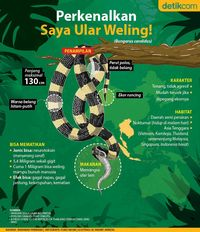 Gigitan Ular Weling Renggut Nyawa Balita Cirebon