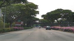 Singapura Sudah Tanam Bougenville di Jalan sejak 10 Tahun Lalu