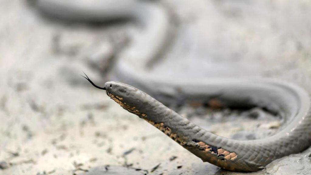 Potret Dramatis Ular Bertahan di Tengah Kebakaran Hutan Amazon