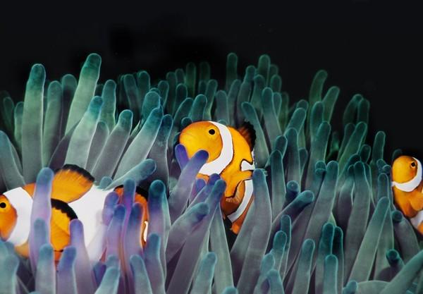 Satuan Tugas National Coral Bleaching menemukan 93 persen terumbu karang di kawasan Great Barrier Reef Australia saat ini mengalami pemutihan (iStock)