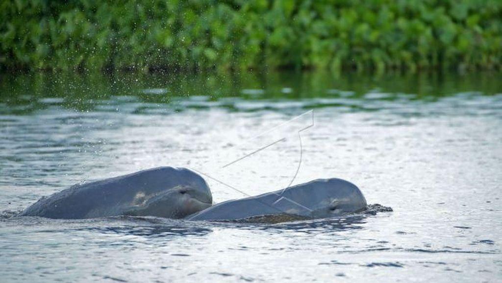 Ikan Pesut Masuk ke Sungai di Riau, BBKSDA Lakukan Evakuasi