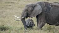 Gajah Mau Lewat, Eh, Pemotor Malah Nyelonong
