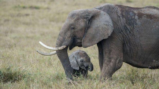 Gajah liar Afrika kini dilarang dikirim ke kebun binatang di seluruh dunia