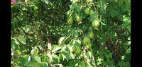 YouTuber Ini Pamerkan Keseruan Panen Apel, Pir hingga Peach Liar