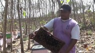 Melihat Ternak Madu dari Bunga Kangkung di Lamongan