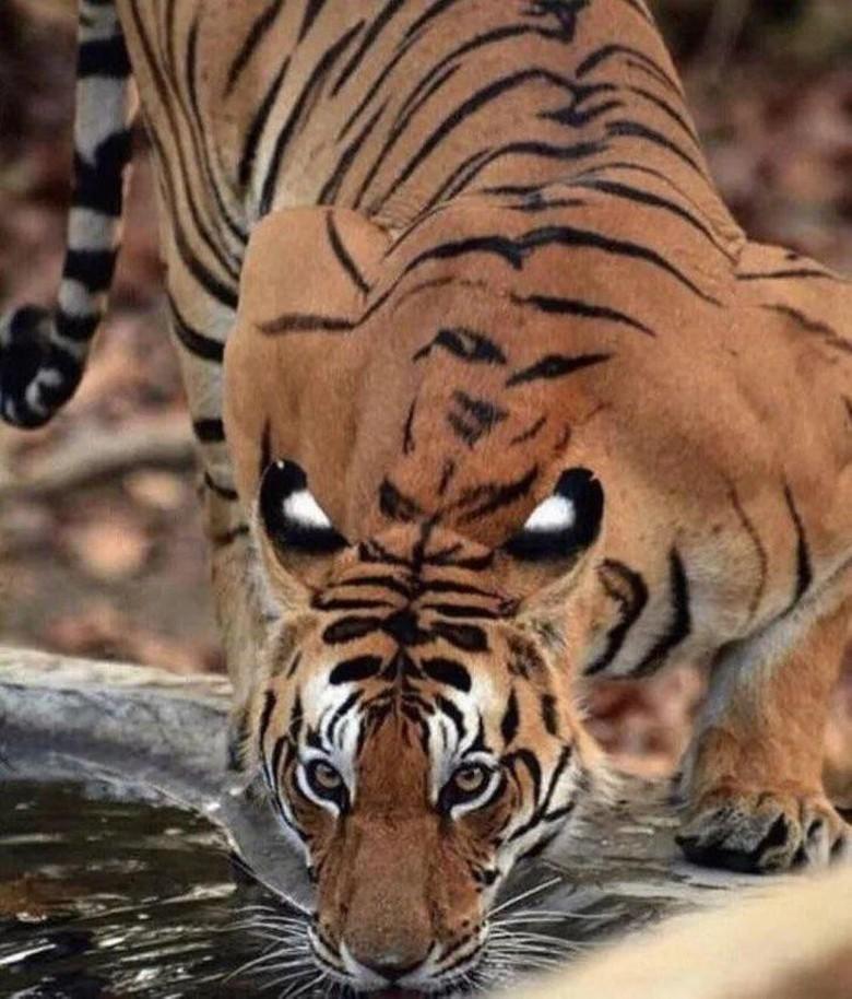 Harimau ini seolah sedang menatap dengan empat matanya.(Foto: Brightside)