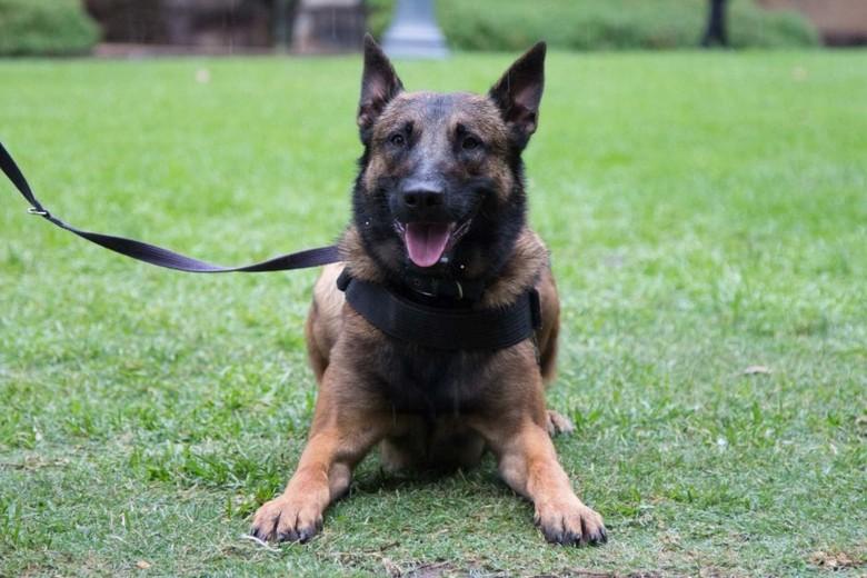 5 Fakta Anjing Belgian Malinois yang Serang ART hingga Tewas