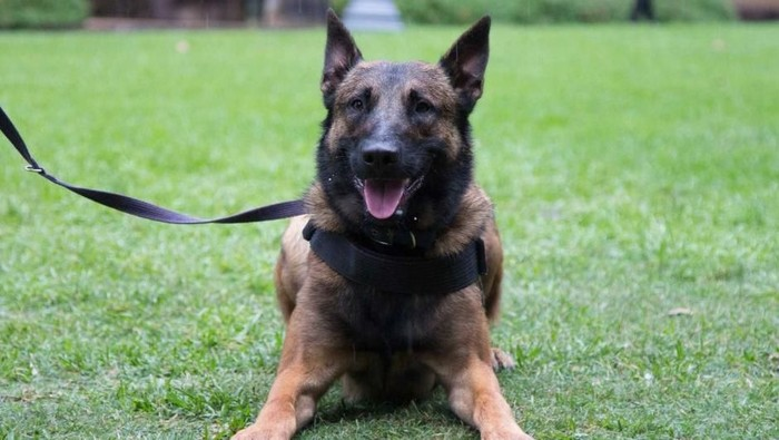 Jenis anjing Belgian Malinois (Foto ilustrasi: ABC News)