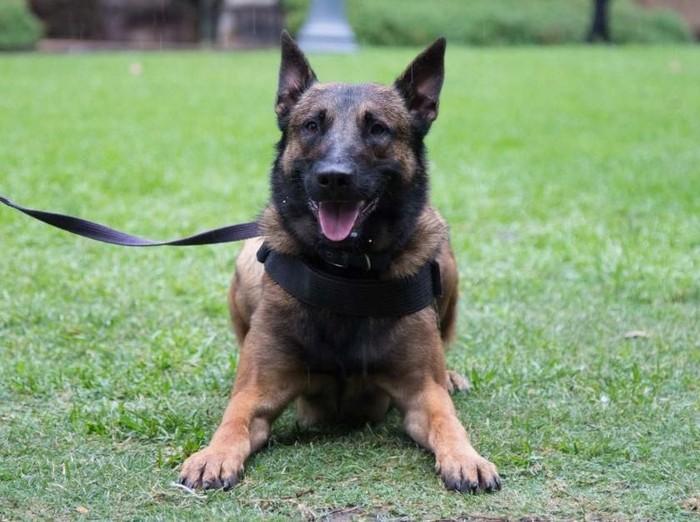 Tewaskan Pembantu Bagaimana Cara Pelihara Anjing Malinois Halaman 2