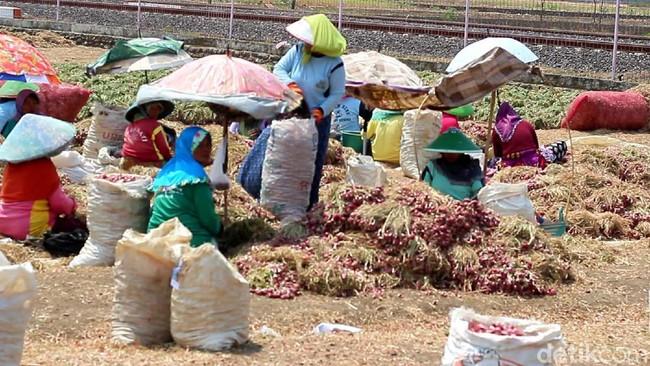 Para petani di Brebes panen bawang merah Foto: Imam Suripto