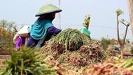Petani Enggan Simpan Bawang Merah di Gudang Pemerintah, Kenapa?