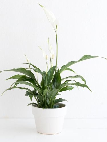 White peace lily with lush dark green foliage in white plant pot on white table against white wall.
