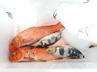 Ikan koi yang mati
