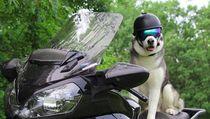 Foto: Anjing Husky yang Suka Touring Keliling Amerika