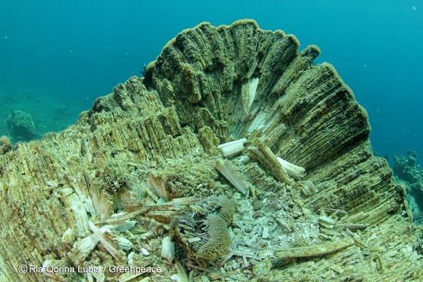 Terumbu karang rata dengan lantai perairan. Warnanya tak lagi cantik tapi putih karena mengalami bleaching. (Ria Qorina/Green Peace)