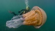 Penampakan Ubur-ubur Raksasa Sebesar Manusia