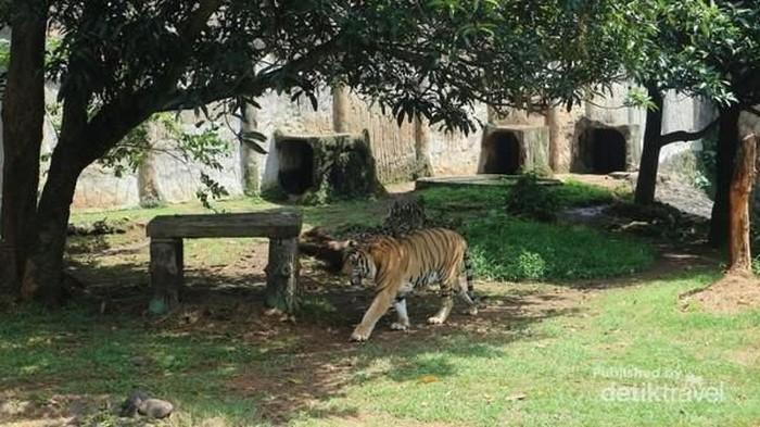 Foto: Ilustrasi Harimau (Nfadils/dTraveler)