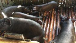 Indonesia Ekspor Babi ke Singapura, Nilainya Tembus Rp 600 M